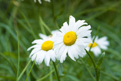 Summer flowers. In the garden Stock Photography