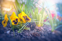 Summer flowers garden beet in dawn light Royalty Free Stock Photos