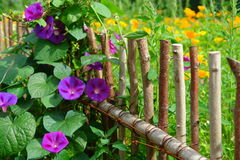 Summer flowers in a garden fence Royalty Free Stock Photo