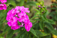 Summer flowers in the garden. Purple Summer flowers blossom in the garden Royalty Free Stock Photo