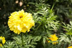 Summer flowers in the garden. Yellow Summer flowers blossom in the garden Royalty Free Stock Images