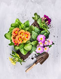 Summer flowers gardening on gray wooden background with shovel Royalty Free Stock Photography