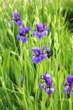 Summer flowers - iris. Summer flowers - blooming violet iris in garden Stock Photo