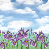 Summer flowers. Irises. Royalty Free Stock Photos