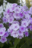 Purple Phlox blossom. Summer flowers : Light purple Phlox blossom royalty free stock photography