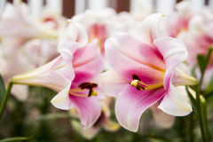 Summer flowers, Lily Royalty Free Stock Images