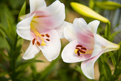 Summer flowers, Lily Royalty Free Stock Photos