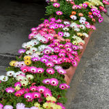 Summer flowers: Livingstone daisy flowers in the pots Royalty Free Stock Photography