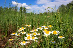 Summer flowers on meadow Royalty Free Stock Images