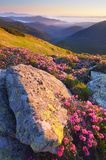Summer flowers in the mountains Royalty Free Stock Image