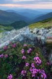 Summer flowers in the mountains at sunset Royalty Free Stock Images