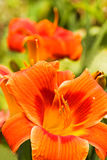 Summer flowers Orange daylilies Royalty Free Stock Photo