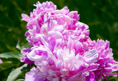 Summer flowers. Peony pink Royalty Free Stock Images