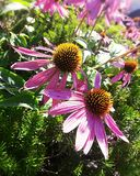 Summer Flowers royalty free stock photography