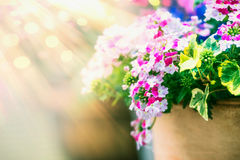 Summer flowers pot at sunbeams light background. Front view royalty free stock photography