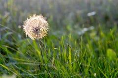 Dandelion fluff Stock Image
