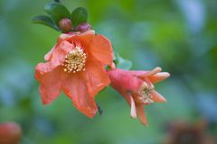 Summer flowers, red flowers,pomegranate flower royalty free stock photo