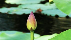 Summer flowers series, beautiful pink lotus bud in pond with green leaves, closeup view, slow motion.  stock video footage
