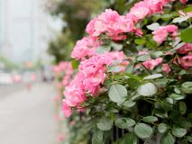 Summer flowers series, beautiful pink roses in the outdoor garden stock photos