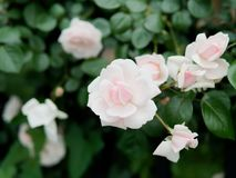 Summer flowers series, beautiful pink roses in the outdoor garden stock photo