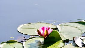 Summer flowers series, beautiful pink water lily in pond with green leaves, 4k movie, slow motion.  stock video