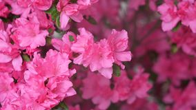 Summer flowers series, macro of pink rhododendron bush blossoms, the flower needs to be kept wet