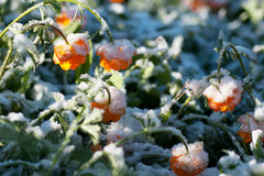 Summer flowers in the snow Royalty Free Stock Photos