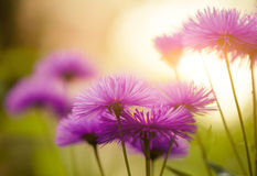 Summer flowers at sunset Royalty Free Stock Photos