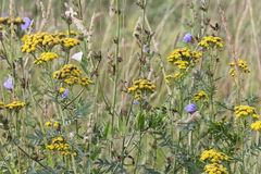 Summer flowers tansy in the field. Summer flowers in the field abstract background stock photos
