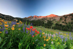 Summer flowers in the Wasatch mountains. Stock Photo