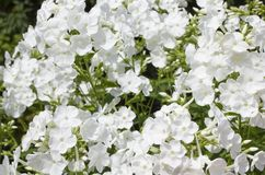 Summer flowers. Blooming of white phlox in Russia. Summer flowers. white phlox blooming background royalty free stock images