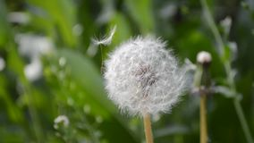 Summer the fluff of dandelions stock video footage