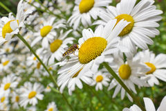 Summer fly on daisies. Summer yellow black  fly sit on daisies background. Strong selective focus, small DOF Stock Image