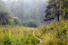 Summer fog in the forest Royalty Free Stock Photography