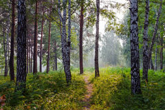 Summer fog in the forest Royalty Free Stock Image
