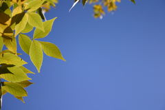 Green leaves against blue sky Royalty Free Stock Image