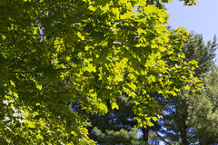 Summer Foliage Stock Photography