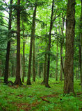 Summer Forest. Photograph of a lush green northwoods forest in summer Royalty Free Stock Photos