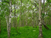 Summer forest. Forest of Kamchatcka.Russian Federation Stock Photography
