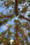 In summer forest. With pines, view from below Royalty Free Stock Photography