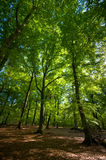 Summer forest. Bright summer forest with sunshine on the leaves and brown forest floor Royalty Free Stock Photo