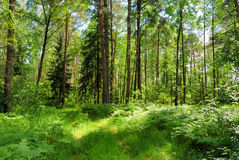 Summer forest. In a sunny day stock photo