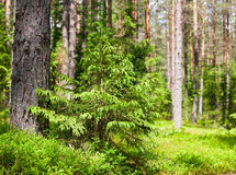 Summer forest. Young spruce at sunny summer forest royalty free stock image