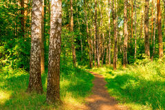 Summer forest with birches Stock Photo