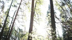 Summer forest bottom view with lush foliage and bright sun. Footage. Green spruce and pine trees against the clear sky stock video footage