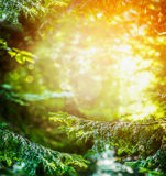 Summer forest with branch of fir tree and sunlight Royalty Free Stock Photography
