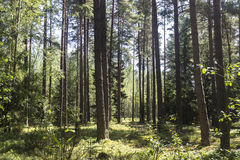 Summer forest. Day pine wildlife Stock Photography
