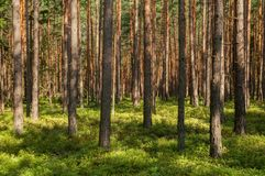 Summer Forest, Dense Afforestation stock photos