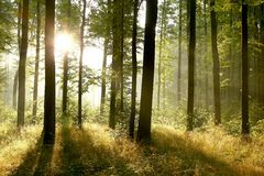 Summer forest in the early morning Royalty Free Stock Image