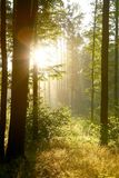 Summer forest in the early morning Royalty Free Stock Photography